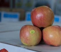 Organic, fuji, apple, shasta, produce, market, fruit