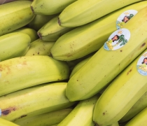 Hawaiian Plantains Grown in Ecquador